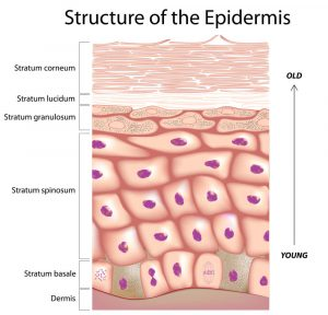 estrutura da epiderme